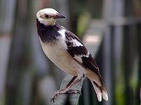 Black-collared Starling.jpg