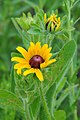 Black-eyed Susan (Rudbeckia hirta) (13941288943).jpg