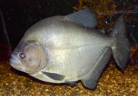 Red-eye Piranha (Serrasalmus rhombeus) | ZooChat