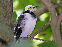 Black Collared Starling RWD2.jpg