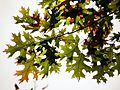 Black Oak Leaves - Flickr - treegrow.jpg