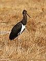 Black Stork (Ciconia nigra) (37505980340).jpg