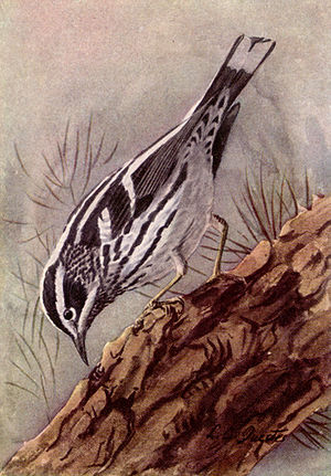 Black and White Warbler NGM-v31-p309-A.jpg