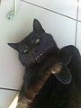 Black cat with evil look.jpg