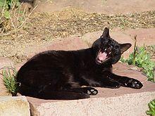 čierna mačička Tumbler