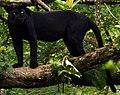 Black panther India.jpg