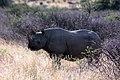 Black rhino Kalahari.jpg