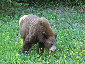 American black bear - Cinnamon-colored black bear eating dandelions in Waterton Lakes National Park