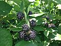 Blackberries near Erlangen 4.jpg