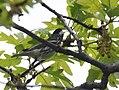 Blackpoll Warbler (33494142053).jpg
