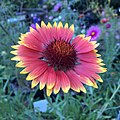 Blanketflower - Gaillardia aristata IMG 6100--.jpg