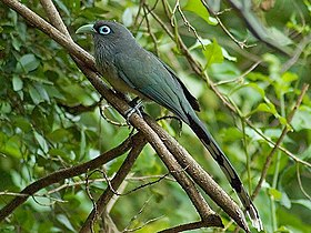 Blue-faced Malkoha crop.jpg