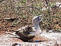 Blue-footed booby (47945218436).jpg