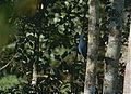 Blue Coua (Coua caerulea) (9674485646).jpg