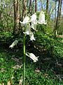 Bluebell, white form - Flickr - treegrow (3).jpg