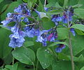 Bluebells (7369150306).jpg