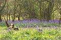Bluebells in April - geograph.org.uk - 16487.jpg