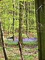 Bluebells in Coxsetter's Wood - geograph.org.uk - 1149585.jpg