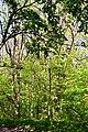 Boholiuby Lutskyi Volynska-Pershotravnevyi park-plot of trees Phellodendron amurense.jpg