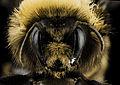Bombus occidentalis, F, Face, Utah Co., Utah 2014-01-10-15.22.23 ZS PMax (12250840435).jpg
