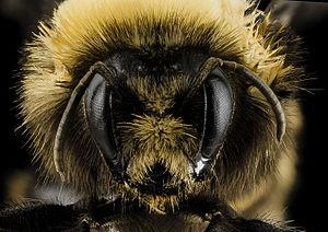 Bombus occidentalis - Female