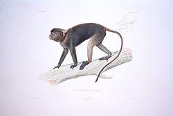 planche représentant un Semnopithèque gris