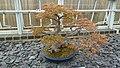 Bonsai at Kew Gardens (13414114473).jpg
