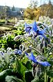"Borago officinalis L. and ""Galopin"".jpg"