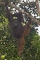 Bornean orangutan (Pongo pygmaeus), Tanjung Putting National Park 03.jpg