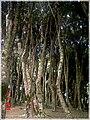Bosque de Arrayanes, Isla Helvecia, Calbuco (2313789146).jpg