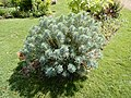 Bosquet d'Euphorbia characias.jpg