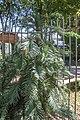 Botanical Garden, Budapest, Wollemi pine, 2013-09-07-2.jpg