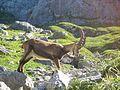 Bouquetin des Alpes (Capra ibex) 04.JPG