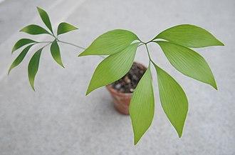 Bowenia - Image: Bowenia Spectabilis 2 years