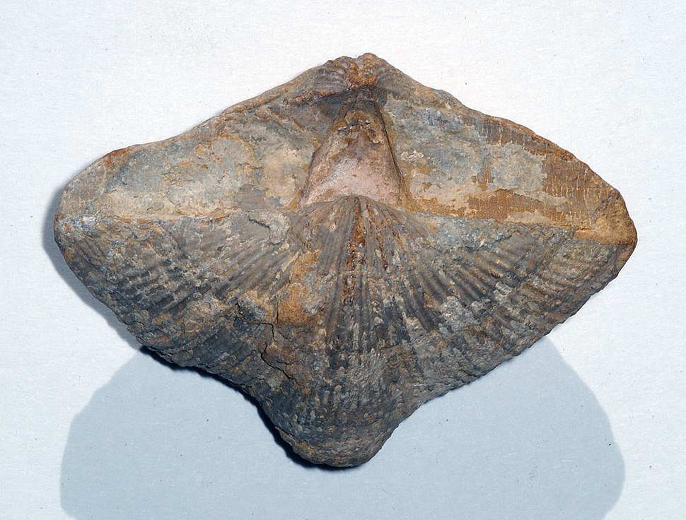 Brachiopod Neospirifer
