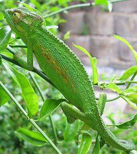 Bradypodion pumilum Cape chameleon female IMG 1767 (cropped).jpg