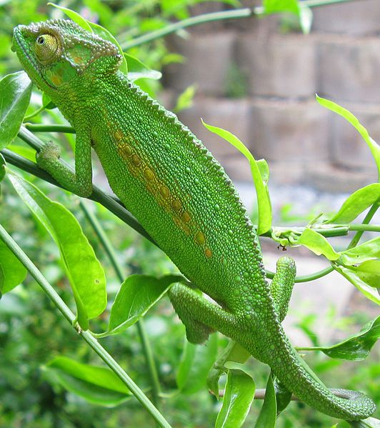 Cropped from File:Bradypodion pumilum Cape chameleon female