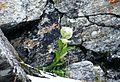 Brahmakamal in Nanda Devi Biosphere Reserve.jpg