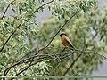 Brahminy Starling (Sturnia pagodarum) (35800044304).jpg