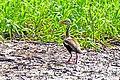 Brazil-00428 - Black-bellied Whistling Duck (48964012077).jpg