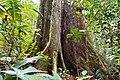 Brettwurzeln eines Urwaldriesen in Ecuador.jpg