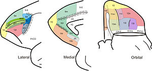 Brodmann areas of frontal cortex of monkey brain (Cebus apella).jpg