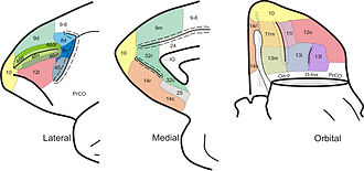 Brodmann area 13 - Frontal cortex of Sapajus sp. BA13 is shown in the diagram at right (orbital surface).