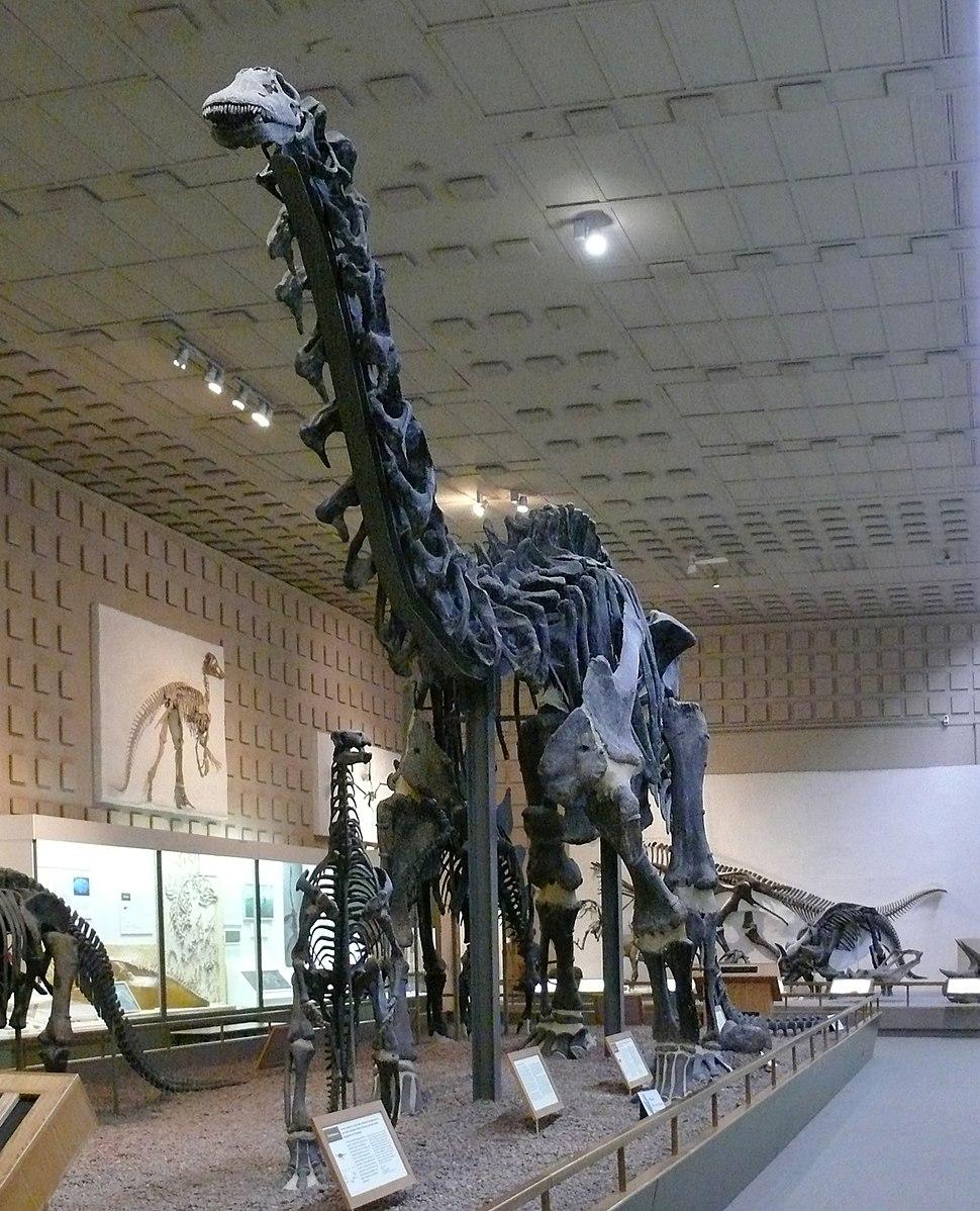 Brontosaurus Yale Peabody cropped