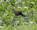 Bronze-winged Jacana (Metopidius indicus) - Flickr - Lip Kee (1).jpg