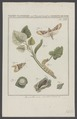 Brotolomia - Print - Iconographia Zoologica - Special Collections University of Amsterdam - UBAINV0274 003 06 0028.tif