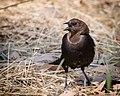 Brown-headed Cowbird (35451024581).jpg