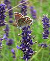 Brown Argus female on lavender. (9613357129).jpg