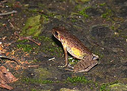 Brown Marsh Frog (Hylarana baramica)? (21197254076).jpg