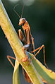 Brown Praying Mantis Archimantis latistyla (1132) - Relic38.jpg
